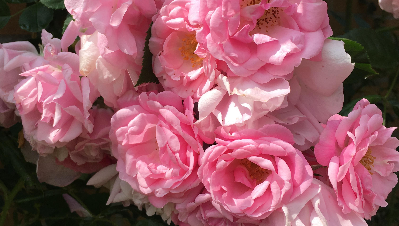 Rozen bloeien overal en zijn prachtig. Foto Miep Bos 2018.